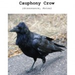 Cauphony Crow cover